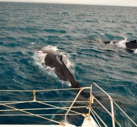 whales-close-boat-whaledreamers-yoga-whalesong-dr-didge